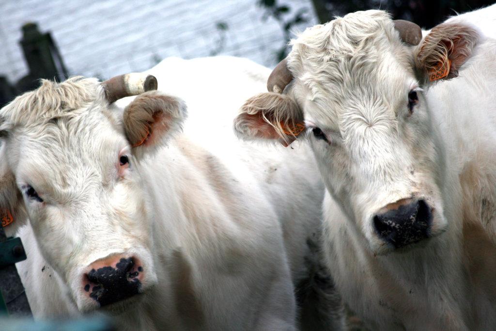 Steven Deschuyteneer B12 koeien