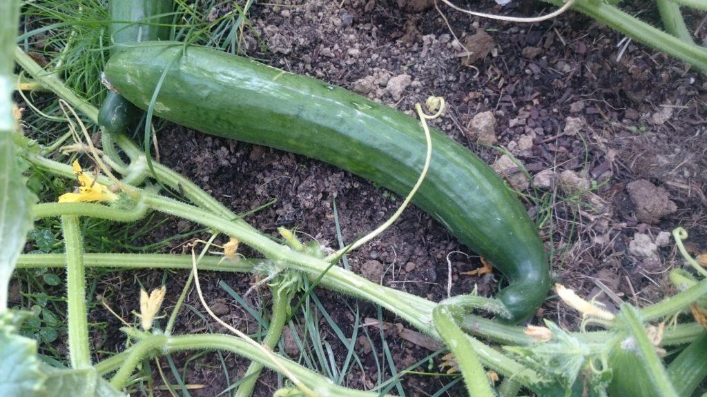Steven Deschuyteneer B12 komkommer tuin