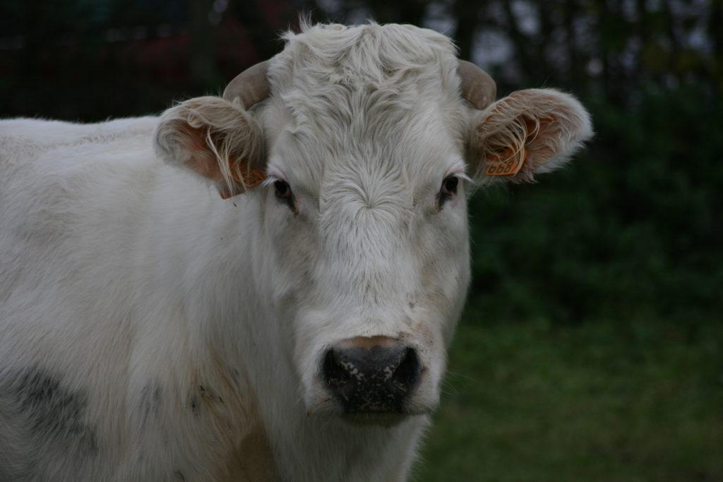Steven Deschuyteneer Waarom eet ik vlees koe