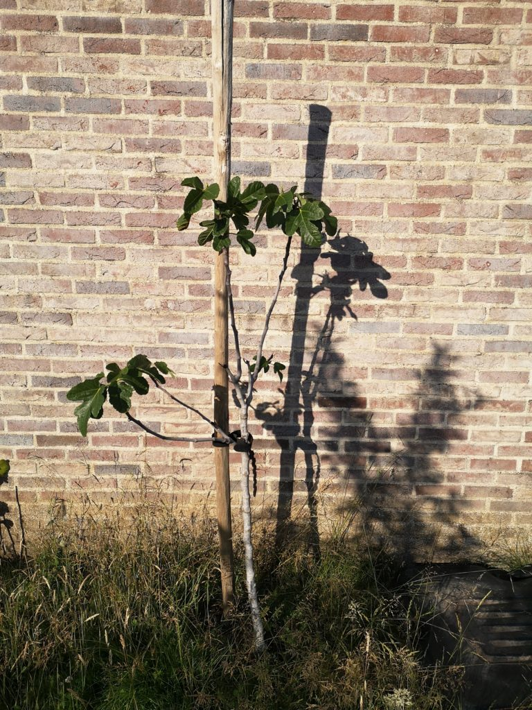 Steven Deschuyteneer Hoe eenvoudig u tuin gezonder maken vijgen boom