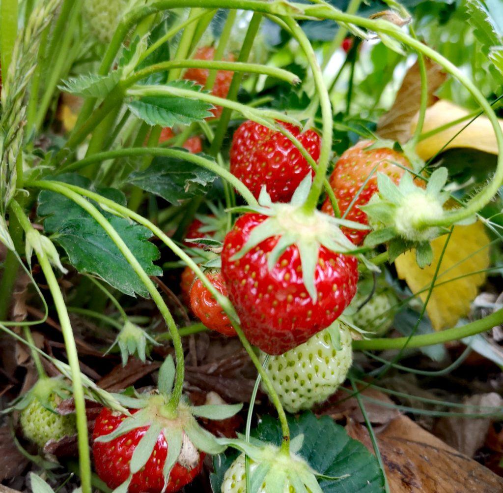 Steven Deschuyteneer De natuur zorgt voor alles en waarom is dat niet genoeg aardbeien