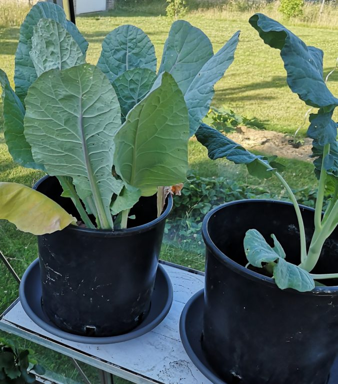 Steven Deschuyteneer Plantjes of zaadjes planten in de groentetuin bloemkool