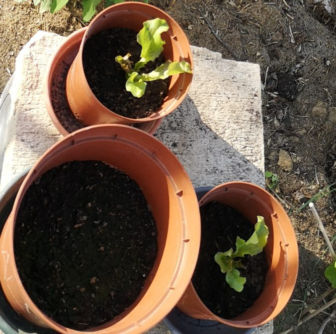 Steven Deschuyteneer Plantjes of zaadjes planten in de groentetuin sla