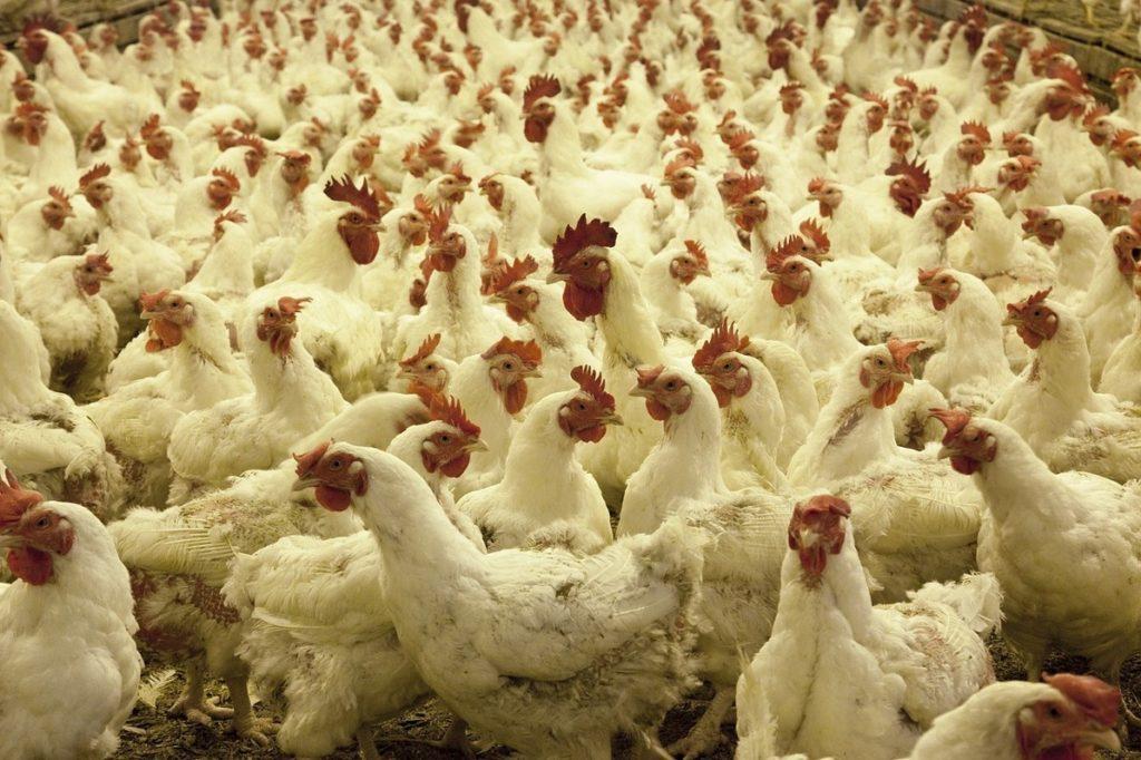 Steven Deschuyteneer Vegan spreekbeurt 10 jaar 4de leerjaar kippen