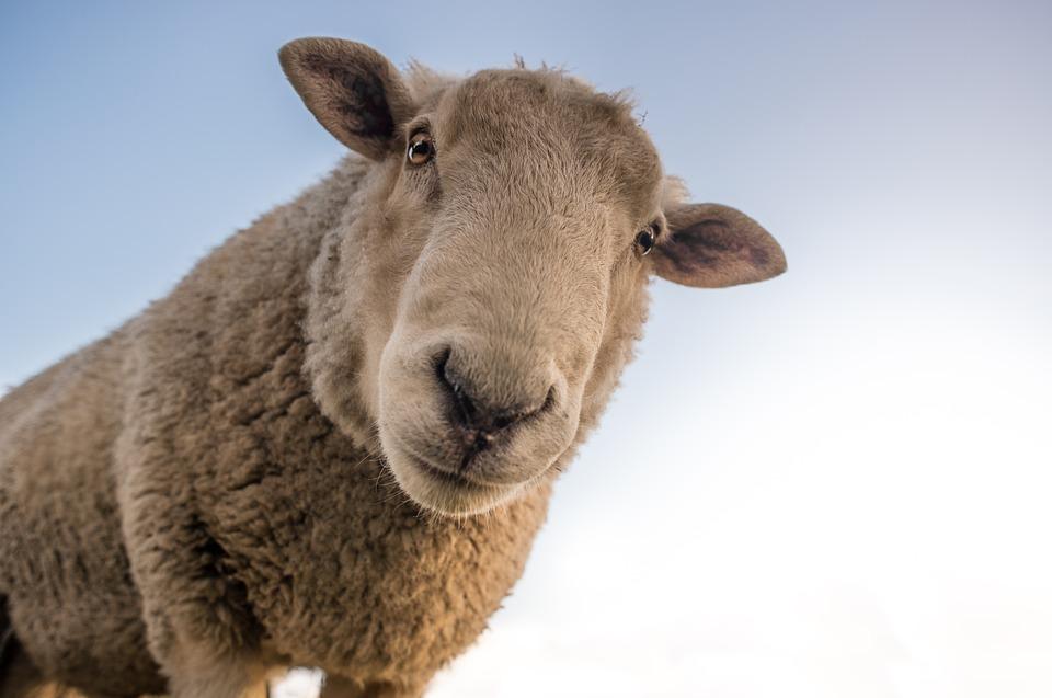 Steven Deschuyteneer Vegan spreekbeurt 10 jaar 4de leerjaar schaap