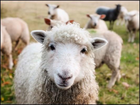 Steven Deschuyteneer Vegan spreekbeurt 10 jaar 4de leerjaar schapen