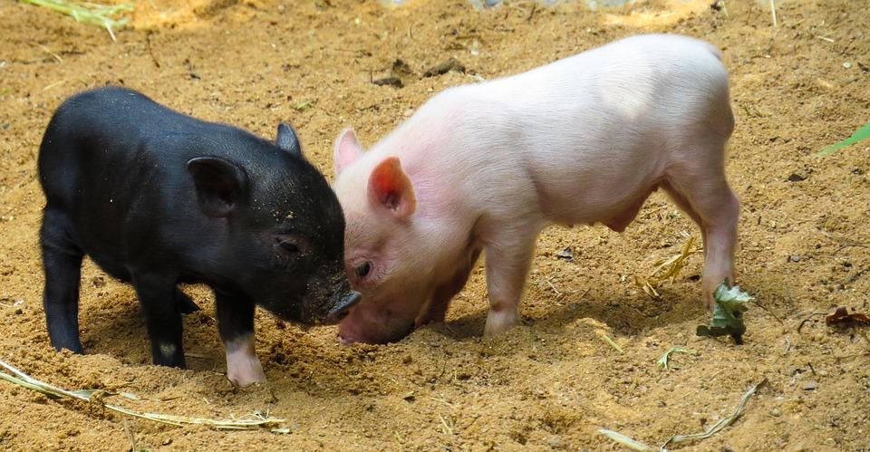 Steven Deschuyteneer Vegan spreekbeurt 10 jaar 4de leerjaar varken