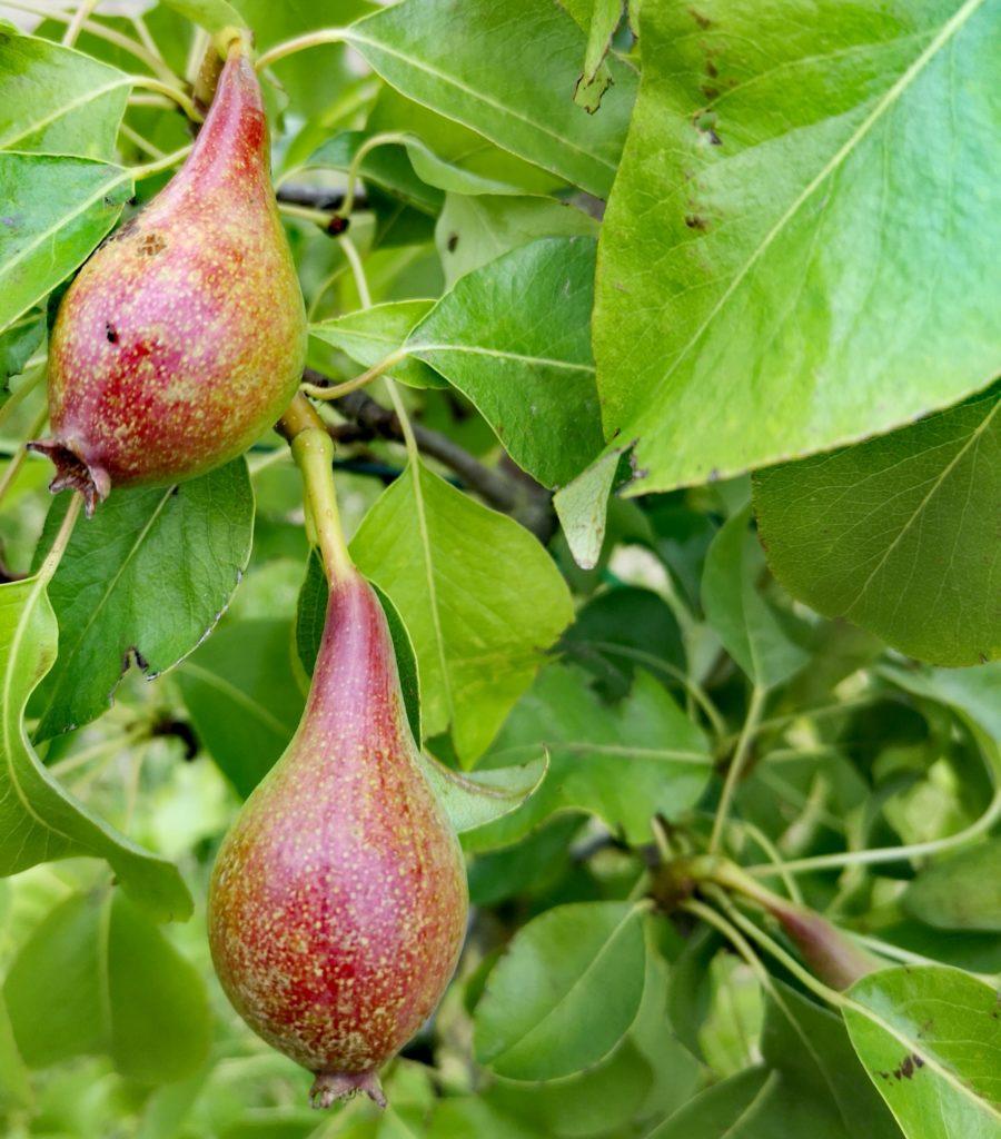 Steven Deschuyteneer Hoe eenvoudig een oase in u tuin maken peren